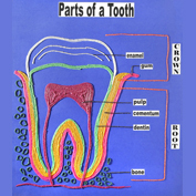 Learn the Parts of a Tooth