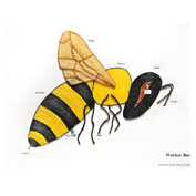 Educational tools and resources for teachers - learn the about the Worker Bee