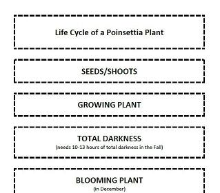 Life Cycle of a Poinsettia Plant