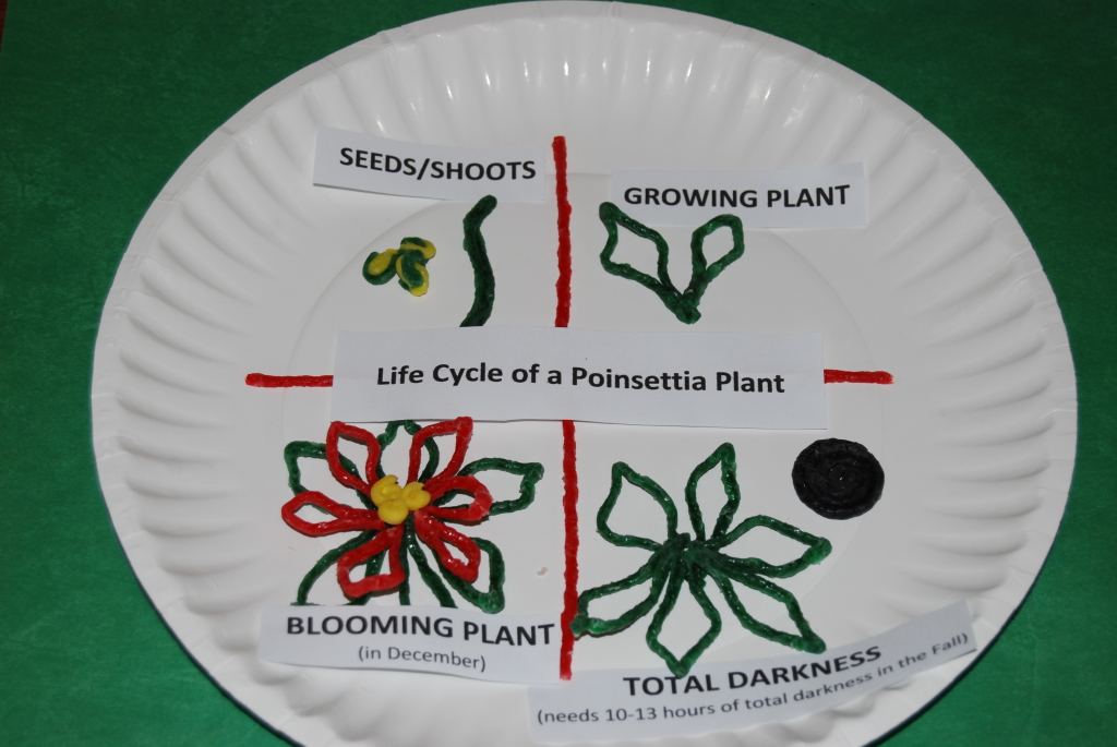 3-D Life Cycle of a Poinsettia Craft for Kids!