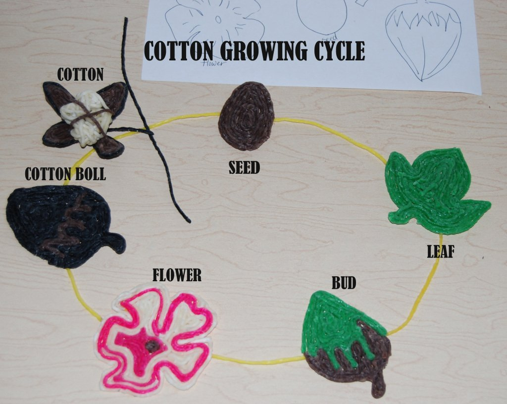 Cotton Growing Cycle