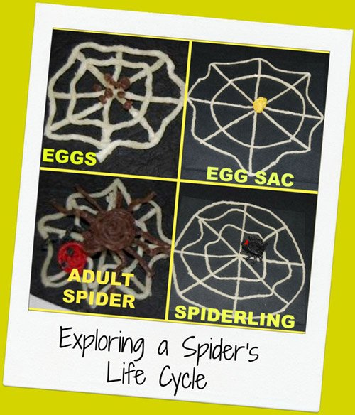 Spider Life Cycle